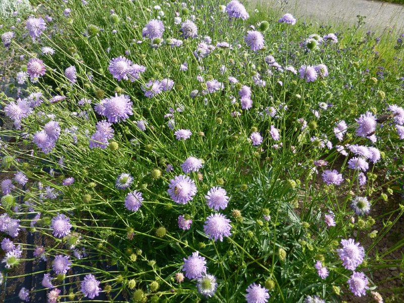 15//400 Samen Knautie Skabiosen Felder Knautia Arvensis Blumen Mehrjährig