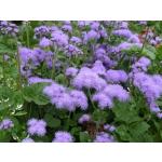 Ageratum houstonianum 'Blue Mink'
