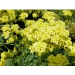 Alyssum saxatile 'Sulphureum'