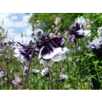 Aquilegia vulgaris 'Blackberry Ice'