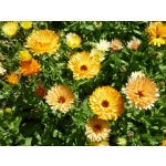 Calendula officinalis 'Touch of Red Mixed'