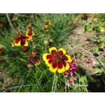 Cosmidium burridgeanum 'Brunette'