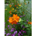 Cosmos sulphureus 'Sunset Orange'