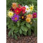 Dahlia variabilis 'Dwarf Cactus Mix'
