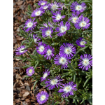 Delosperma floribundum 'Stardust'