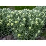 Helichrysum thianshanicum 'Goldkind'
