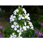 Lunaria annua (Mischung)