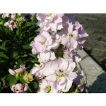 Matthiola incana 'Dwarf Ten Week Mix'
