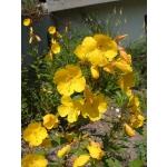 Oenothera tetragona (fruticosa)