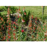 Penstemon barbatus 'Coccineus'