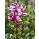 Salvia horminum 'Pink Sundae'