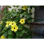 Thunbergia alata 'Aurea Oculata'