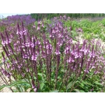Verbena hastata 'Violet'