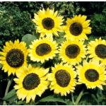 Helianthus annuus 'Lemon Queen'