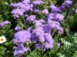 Blauvioletter Leberbalsam