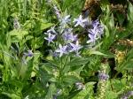 Amsonie, Blausternbusch