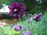 Schwarzviolette Gefüllte Akelei