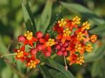Indianer-Seidenpflanze