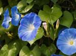 Azurblaue Trichterwinde