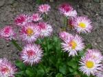 Gefülltes Gänseblümchen (Mischung)