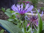Blaue Berg-Flockenblume