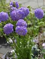 Blaue Garten-Skabiose
