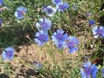 Blaue Kornblume (Wildform)
