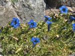 Blauer Alpen-Enzian