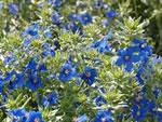 Blauer Gauchheil