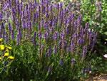Blauvioletter Hain-Salbei