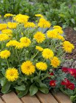 Ringelblume 'Yellow Porcupine'