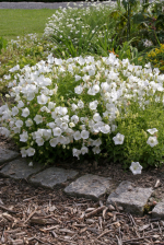 Weiße Karpaten-Glockenblume