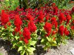 Rote Federbusch-Celosie