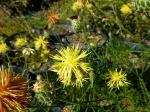 Gelbe Flockenblume