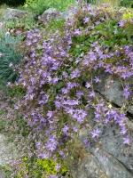 Dalmatische Glockenblume