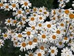 Ebensträußige Wucherblume