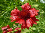 Rote Kokardenblume