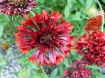 Gefüllte Rote Kokardenblume