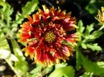 Gefüllte Zweifarbige Kokardenblume