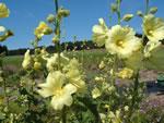Gelbe Stockrose