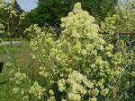 Gelbe Wiesenraute