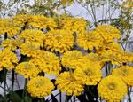 saatgut samen blaukissen farbmischung aubrieta 39 grandiflora 39 pflanzen stauden kaufen. Black Bedroom Furniture Sets. Home Design Ideas