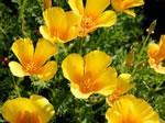 Gelber Kalifornischer Goldmohn