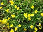 Gelbes Sonnenröschen (Wildform)