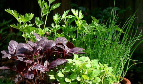 saatgut samen bockshornklee trigonella foenum graecum pflanzen stauden kaufen. Black Bedroom Furniture Sets. Home Design Ideas