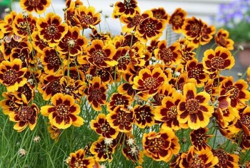 saatgut samen cosmidie cosmidium burridgeanum 39 brunette 39 pflanzen stauden kaufen. Black Bedroom Furniture Sets. Home Design Ideas