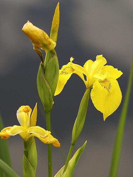 Blütenfarbe: Gelb (seite 6) Pflanzen-vielfalt - Der Saatgut-shop ... Gelb Bluhende Stauden Steingarten