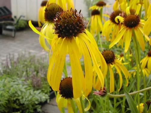 saatgut samen gelber sonnenhut echinacea paradoxa pflanzen stauden kaufen. Black Bedroom Furniture Sets. Home Design Ideas