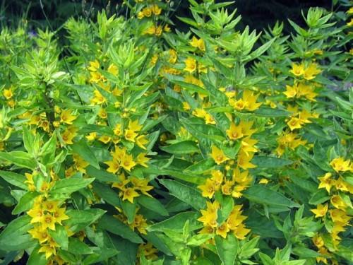 gelb bl hende stauden panoramio photo of gelb bl hende stauden in den st stauden in gelb. Black Bedroom Furniture Sets. Home Design Ideas