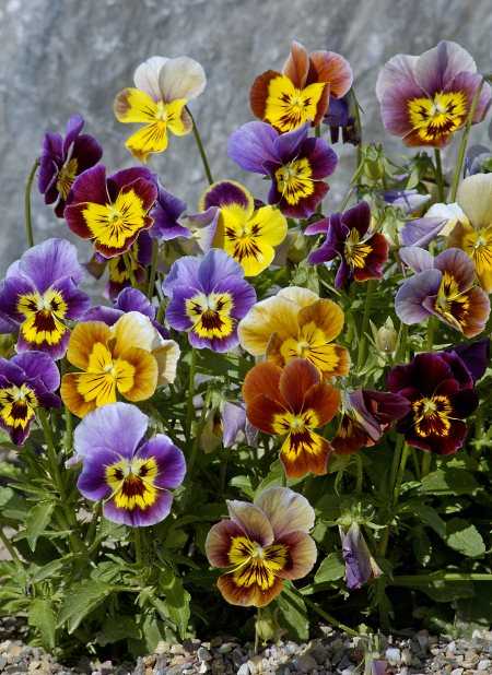 saatgut samen historisches stiefm tterchen mischung viola cornuta 39 historic florist pansies. Black Bedroom Furniture Sets. Home Design Ideas